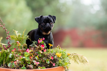Fototapete - cute portrait of a dog in autumn foliage. Petit Brabancon on the nature