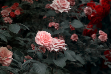 Wall Mural - Blooming pink and red roses flowers in mystical garden on mysterious fairy tale spring or summer floral background, fantasy nature dreamy evening landscape toned in low key, dark tones and shades