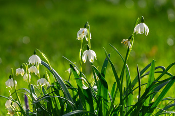 Germany, Spring snowflakes (Leucojum vernum) blooming outdoors Wall mural
