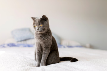 Portrait of grey British shorthair sitting on bed Fotoväggar