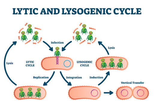 Lytic and lysogenic cycle vector illustration. Labeled educational scheme.