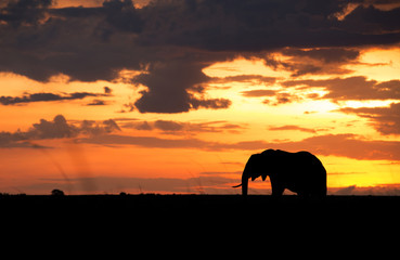 Wall Mural - Silhouette of African elephant during sunset