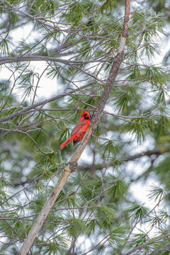 Red Northern Cardinal bird perched in tree branch in forest