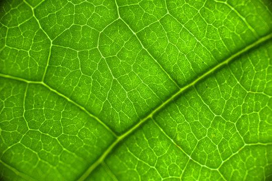 avocado leaf macro
