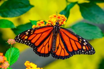 Autocollant pour porte Papillon Closeup beautiful butterfly in a summer garden