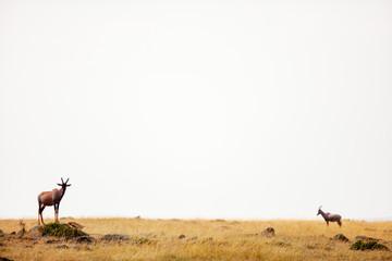 Topi antelope in Kenya