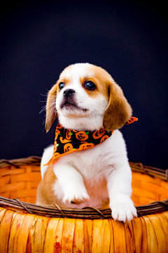 Adorable Beaglier Puppy Wearing a Jack-o-Lantern Bandana Poses with One Paw on a Pumpkin Basket front of a Black Background for Halloween