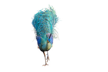 Male peacock on a white background