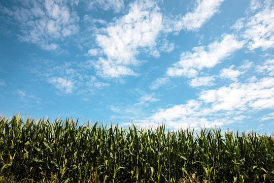 The clouds in the August sky streak over a cornfield near Horicon National Wildlife Refuge, Mayville, Wisconsin