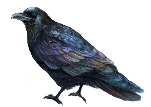 common raven bird  watercolor illustration