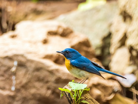 A male Indochinese Blue-flycatcher (Cyornis sumatrensis) its orange breast and blue feathers on the upperparts and the throat.