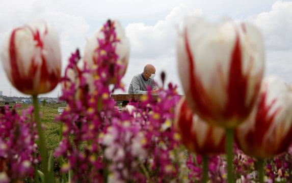 Sakura Furusato Square cuts over 100,000 tulips to avoid people visiting, following the coronavirus disease (COVID-19) outbreak, in Sakura, Chiba