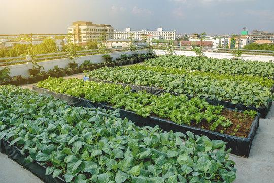 Rooftop garden, Rooftop vegetable garden, Growing vegetables on the rooftop of the building, Agriculture in urban on the rooftop of the building