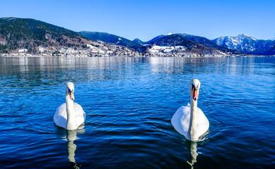 Wall Mural - mute swan at the tegernsee lake