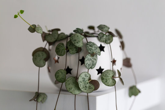 Ceropegia woodii in a flower pot