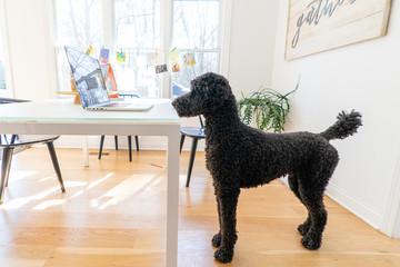 Black standard poodle watching a computer screen at home Fotoväggar