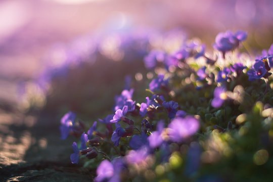 Close up of tiny purple Spring flowers in a meadow. Backlighting during golden hour. Shallow depth of field with bokeh