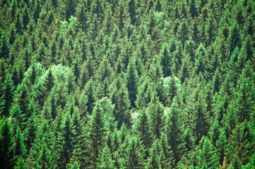 Full Frame Shot Of Coniferous Trees In Forest