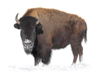 Stores à enrouleur Buffalo bison stands in the snow isolated on a white background.