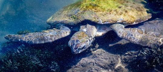 Turtle Swimming In Sea Wall mural