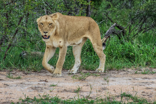 Portrait of an African lioness in bush stalking during a safari experience in Kruger national park