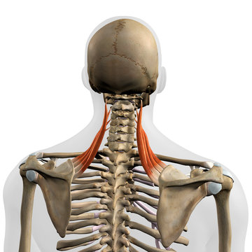 Levator Scapulae Muscles in Isolation Rear View of Upper Back Human Anatomy