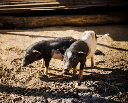 pigs in a farm in Ban Yang village, Laos, Southeast Asia