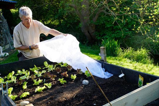 Hobbygärtner deckt junge Salatpflanzen mit einem Vlies ab