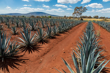 Tequila agave  lanscape