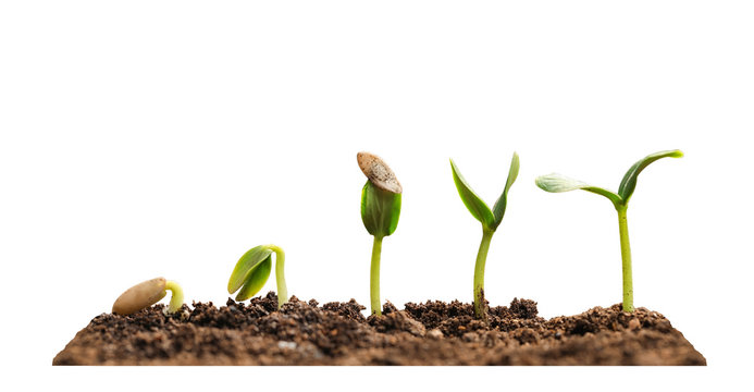Stages of growing seedling in soil on white background