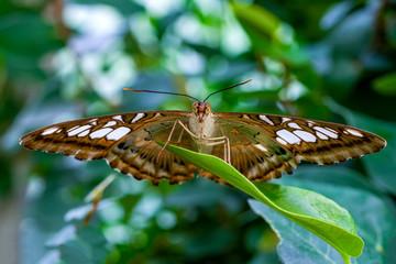 Zelfklevend Fotobehang Vlinder Closeup Malachite (siproeta stelenes) beautiful butterfly in a summer garden