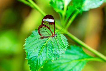 Zelfklevend Fotobehang Vlinder Glasswing Butterfly (Greta oto) in a summer garden.