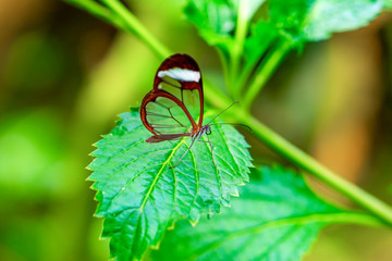 Foto op Textielframe Vlinder Glasswing Butterfly (Greta oto) in a summer garden.