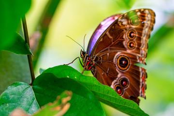 Zelfklevend Fotobehang Vlinder Blue Morpho, Morpho peleides, big butterfly sitting on green leaves, beautiful insect in the nature habitat