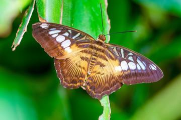 Foto op Textielframe Vlinder Closeup Malachite (siproeta stelenes) beautiful butterfly in a summer garden