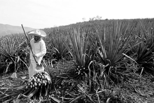 Man working on agave cutting for the tequila industry.