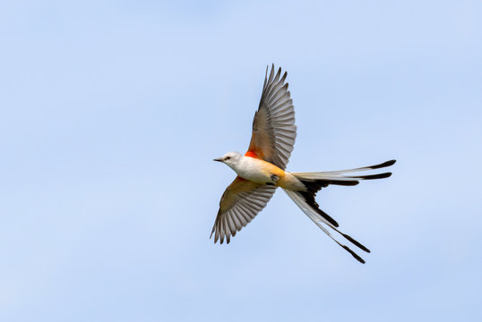 The scissor tailed flycatcher (Tyrannus forficatus) perched on the bush, Texas
