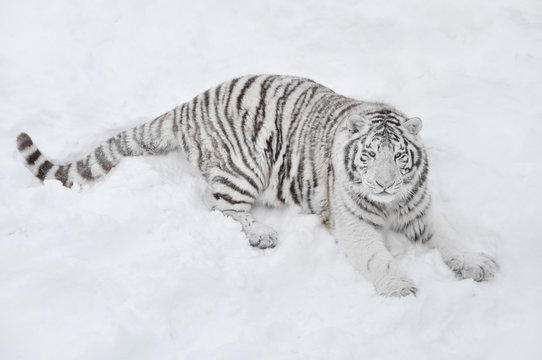 White tiger lying in the snow and looks into the distance