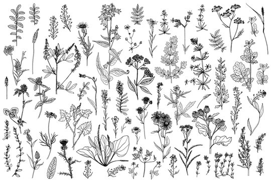 Wild herbs, drawn by a black line on a white background. Vector. Set. Hand drawing.