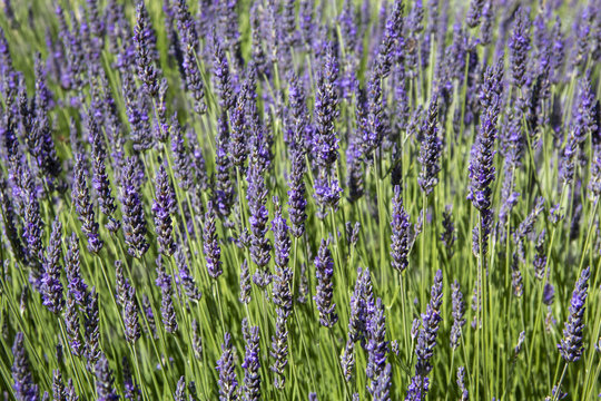 Violet lavender flowers. Beautifull floral background on horizontal web header or banner. Summer season in Provence.