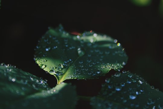 Water Drops On Leaves Over Black Background