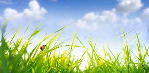 Fototapete - Spring summer scenery with fresh green tall grass in wind and ladybug against a blue sky with white clouds in nature, close-up macro. Ultra wide format.