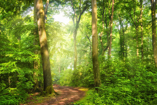 Green forest with wafts of mist and the warm sunlight falling through them unto a curved path