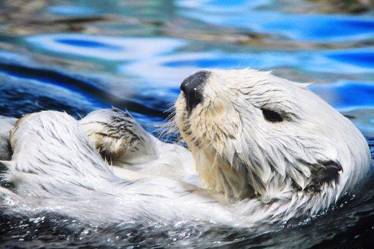 Otter Swimming In Lake