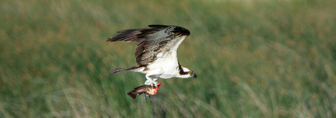 An osprey in flight with a decapitated fish in its talons at Market Lake National Wildlife Management Area in Idaho Fotoväggar