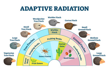 Adaptive radiation vector illustration. Labeled birds diet evolution diagram Fotomurales