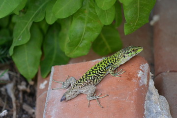 Close-up Of Lizard With Tail Missing