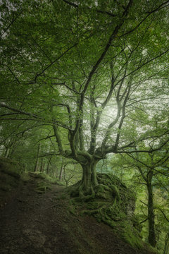 Wonderful landscape with big covered moss branchy tree on slope in dense forest