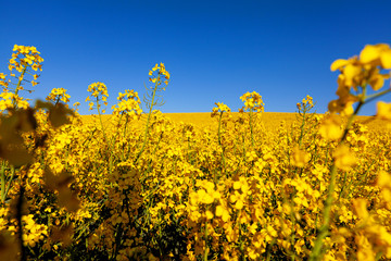 Yellow rape field agriculture natural wonder plant