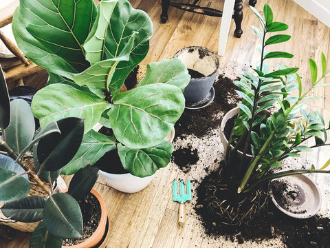 Repotting plants at home. Ficus Lyrata tree and zamioculcas plant on floor with roots, ground and gardening tools. Potting or transplanting plants. Houseplant. Plants in modern interior room